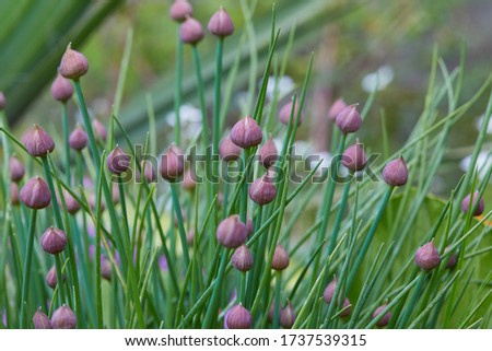 Allium schoenoprasum - bulbous ornamental plant with pink flowers, a plant for decorating urban flower beds. A perennial plant, Chives #1737539315