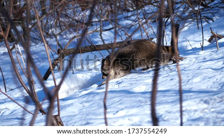 A raccoon is spotted playing in some fresh snow on the hills of Mont Royal, in Montreal, Quebec, Canada.  This picture captures a raccoon roaming through the trees on the mountain.