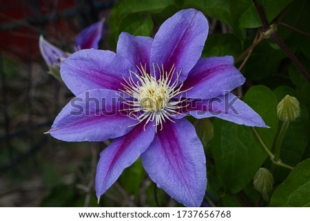 blue and purple clematis flower in full bloom with green leaves in background. #1737656768