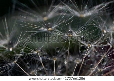 Dandelion Details. Drops of dew on a dandelion. Drops. Macro photo. Raindrops. Ripe dandelion seeds. Drops on white air umbrellas. Dandelion seeds are scattered. Reflection drop