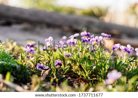 Pansy Flowers yellow spring colors on a green background. Pansies in the garden, viola on the ground