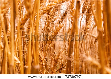 Wheat field with Breed. Ears of golden wheat. Bright Outdoor. Harvest ripe wheat crop with beautiful closed up #1737807971