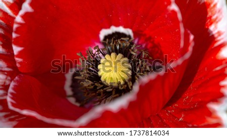 Poppy stamens, closeup.Macro shot of a poppy.Artistic presentation of poppy pictures.Beautiful picture for the interior.