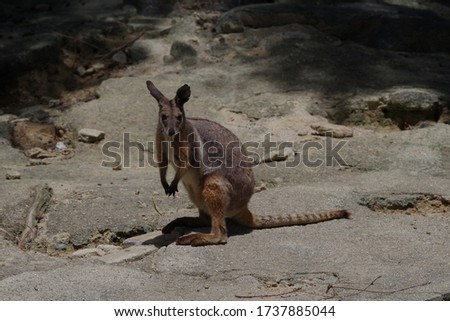 Cute yellow footed rock wallaby pictures
