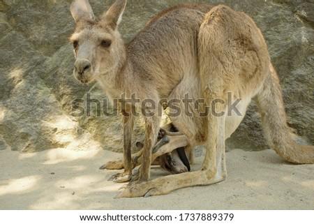 Cute eastern gray kangaroo pictures