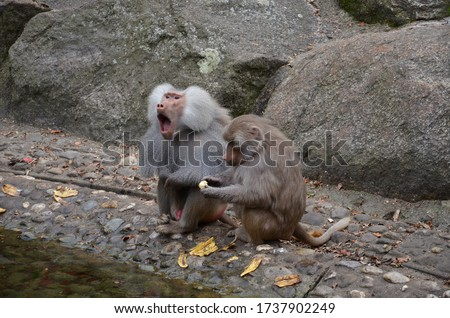 Roaring baboon next to an eating baboon