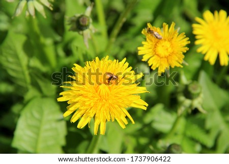 Bright yellow flowers dandelions in green grass. Taraxacum closeup stock photo. Fresh festive summer and spring mood
