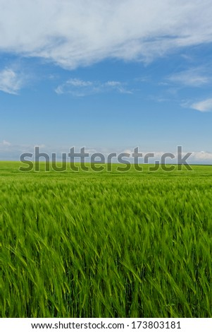 green wheat field under the blue cloudy sky #173803181
