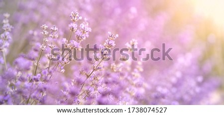 Lavender bushes closeup on sunset, horizontal background. Sunset gleam over purple flowers of lavender. Bushes on the center of picture and sun light on the left. Provence region of france.