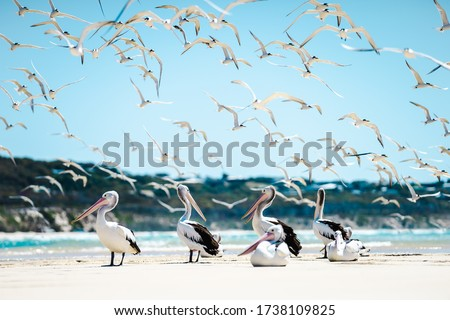 Low angle photo from wild pelican on fraser island australia with seagulls flying around at a sunny day. #1738109825