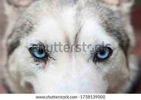 Close up dog face with blue eyes. Husky dog glance Royalty-Free Stock Photo #1738139000