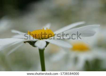 Flowering of daisies or marguerite. Oxeye daisy, Leucanthemum vulgare, Daisies, Dox-eye, Common daisy, Dog daisy, Moon daisy. Gardening concept #1738184000