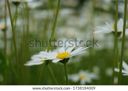 Flowering of daisies or marguerite. Oxeye daisy, Leucanthemum vulgare, Daisies, Dox-eye, Common daisy, Dog daisy, Moon daisy. Gardening concept #1738184009
