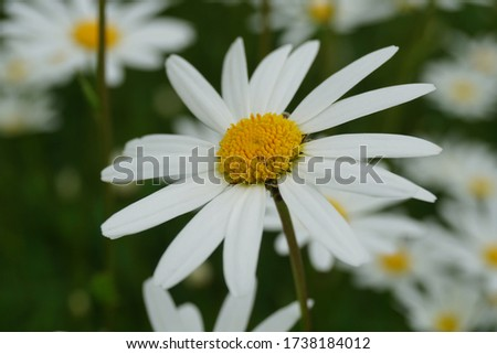 Flowering of daisies or marguerite. Oxeye daisy, Leucanthemum vulgare, Daisies, Dox-eye, Common daisy, Dog daisy, Moon daisy. Gardening concept #1738184012