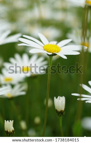 Flowering of daisies or marguerite. Oxeye daisy, Leucanthemum vulgare, Daisies, Dox-eye, Common daisy, Dog daisy, Moon daisy. Gardening concept #1738184015