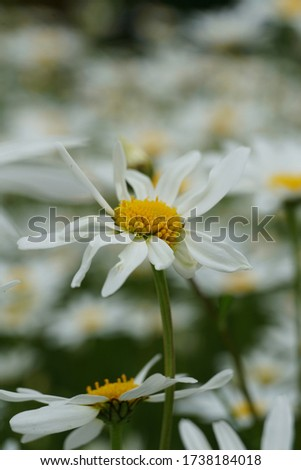 Flowering of daisies or marguerite. Oxeye daisy, Leucanthemum vulgare, Daisies, Dox-eye, Common daisy, Dog daisy, Moon daisy. Gardening concept #1738184018