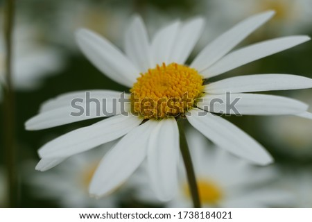 Flowering of daisies or marguerite. Oxeye daisy, Leucanthemum vulgare, Daisies, Dox-eye, Common daisy, Dog daisy, Moon daisy. Gardening concept #1738184021