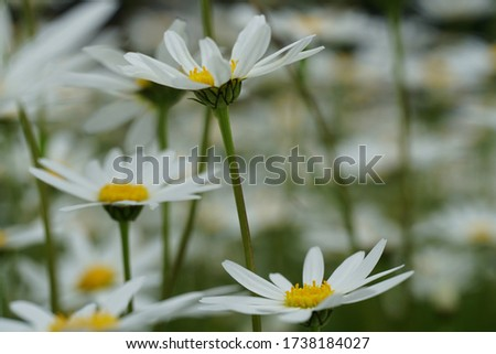 Flowering of daisies or marguerite. Oxeye daisy, Leucanthemum vulgare, Daisies, Dox-eye, Common daisy, Dog daisy, Moon daisy. Gardening concept #1738184027
