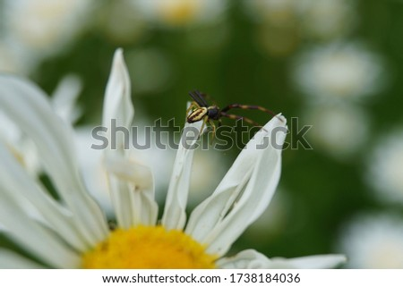 Flowering of daisies or marguerite. Oxeye daisy, Leucanthemum vulgare, Daisies, Dox-eye, Common daisy, Dog daisy, Moon daisy. Gardening concept #1738184036