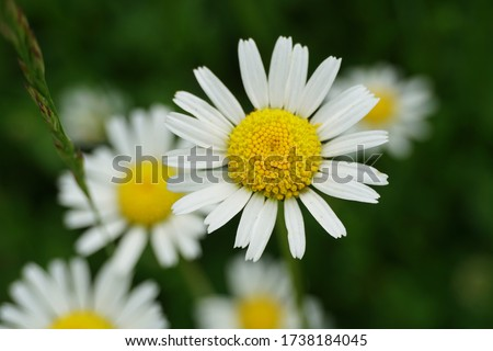 Flowering of daisies or marguerite. Oxeye daisy, Leucanthemum vulgare, Daisies, Dox-eye, Common daisy, Dog daisy, Moon daisy. Gardening concept #1738184045