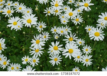 Flowering of daisies or marguerite. Oxeye daisy, Leucanthemum vulgare, Daisies, Dox-eye, Common daisy, Dog daisy, Moon daisy. Gardening concept #1738187072