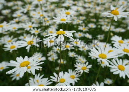 Flowering of daisies or marguerite. Oxeye daisy, Leucanthemum vulgare, Daisies, Dox-eye, Common daisy, Dog daisy, Moon daisy. Gardening concept #1738187075