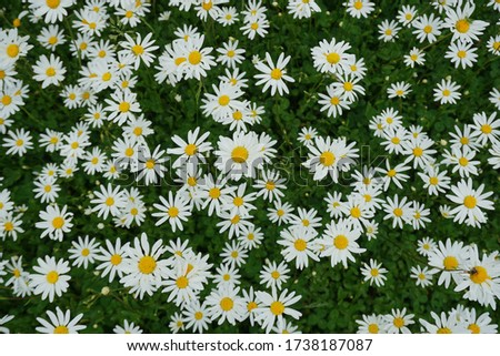 Flowering of daisies or marguerite. Oxeye daisy, Leucanthemum vulgare, Daisies, Dox-eye, Common daisy, Dog daisy, Moon daisy. Gardening concept #1738187087