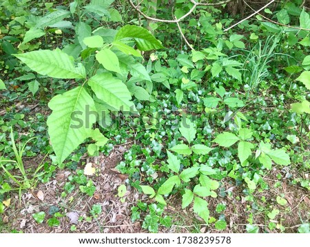 Larger poison ivy leaves stand out against the forest floor along a hiking trail in a Virginia forest.