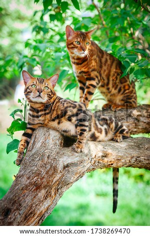 Two gorgeous marbled green-eyed Bengal cats lie on a lilac tree trunk surrounded by green foliage on a hot summer day #1738269470