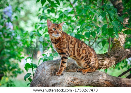 A beautiful Bengal cat with green eyes sits on a lilac trunk surrounded by green leaves, on a hot summer day, amid a bunch of lilacs #1738269473