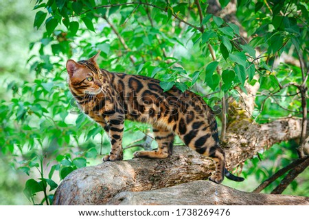 A beautiful Bengal cat with green eyes sits on a lilac trunk surrounded by green leaves, on a hot summer day, amid a bunch of lilacs #1738269476