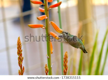 Photo of a hummingbird in a garden, feeding on an orange flower.