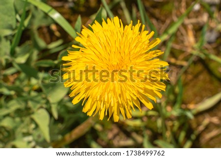 Dandelion flower in the wild. view from above #1738499762