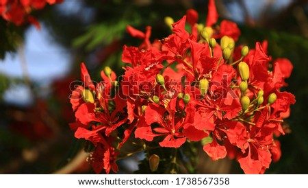 Red and orange Flowers seen on road sides. Blooming May-flower trees along the Pavements in a Planned city. Lusail city, where FIFA 2020 will be held #1738567358