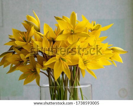 picture with yellow wild tulips in a glass vase, yellow petal fragments on a blurred background