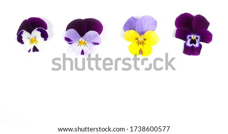 Flowering set of colorful pansies in the garden. Natural spring flower background. Various set of Pansy flowers on white background.