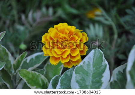colorful marigold flower on a background of green foliage,Tagetes erecta,African marigold, American marigold,Aztec marigold,Big marigold,ASTERACEAE,COMPOSITAE #1738604015
