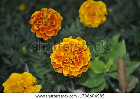 colorful marigold flower on a background of green foliage,Tagetes erecta,African marigold, American marigold,Aztec marigold,Big marigold,ASTERACEAE,COMPOSITAE #1738604585