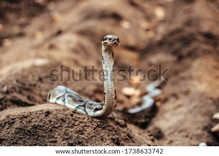 A large python crawls on the ground. Python is looking forward. Python sheds. A snake creeps on the ground.