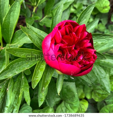 Macro photo red peony plant. Stock photo blooming red peony  flower