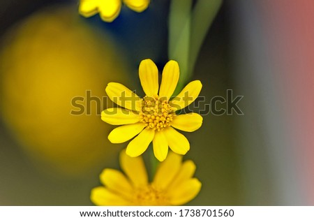 Flowering of daisies. Oxeye daisy, Leucanthemum vulgare, Daisies, Dox-eye, Common daisy, Dog daisy, Moon daisy Gardening concept #1738701560