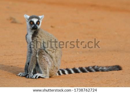 Ring-tailed Lemur at Berenty Lemur Reserve
