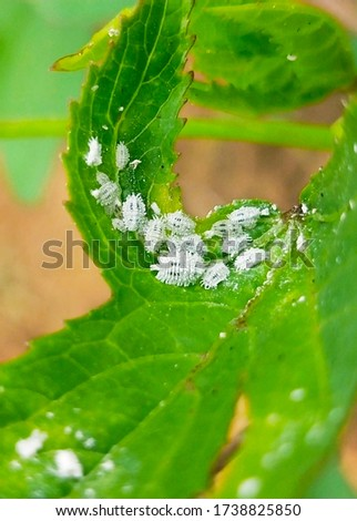 This picture shows mealy bug in Hibiscus sabdariffa leaves.