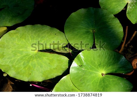 Leaves of aquatic plants on the surface of the small pond make the garden more beautiful. #1738874819