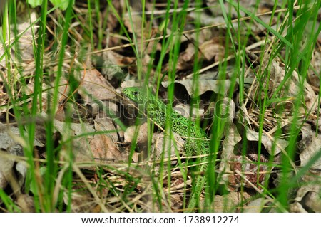 A quick lizard, or a nimble lizard, or an ordinary lizard (lat. Lacerta agilis) is a species of lizards from the family of real lizards.  Lizard in the natural habitat during the mating season. #1738912274