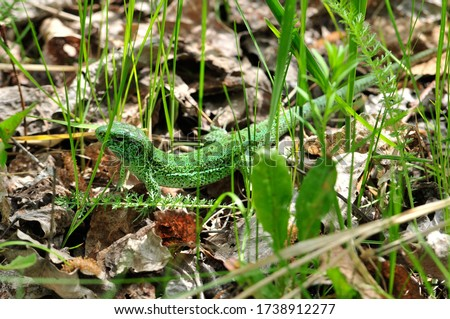 A quick lizard, or a nimble lizard, or an ordinary lizard (lat. Lacerta agilis) is a species of lizards from the family of real lizards.  Lizard in the natural habitat during the mating season. #1738912277
