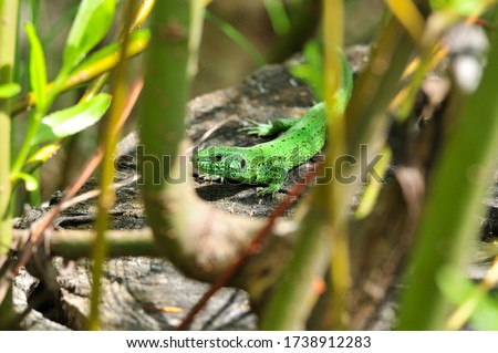 A quick lizard, or a nimble lizard, or an ordinary lizard (lat. Lacerta agilis) is a species of lizards from the family of real lizards.  Lizard in the natural habitat during the mating season. #1738912283