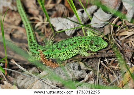A quick lizard, or a nimble lizard, or an ordinary lizard (lat. Lacerta agilis) is a species of lizards from the family of real lizards.  Lizard in the natural habitat during the mating season. #1738912295