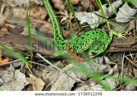 A quick lizard, or a nimble lizard, or an ordinary lizard (lat. Lacerta agilis) is a species of lizards from the family of real lizards.  Lizard in the natural habitat during the mating season. #1738912298
