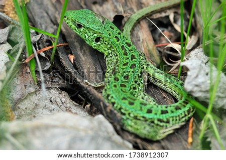 A quick lizard, or a nimble lizard, or an ordinary lizard (lat. Lacerta agilis) is a species of lizards from the family of real lizards.  Lizard in the natural habitat during the mating season. #1738912307